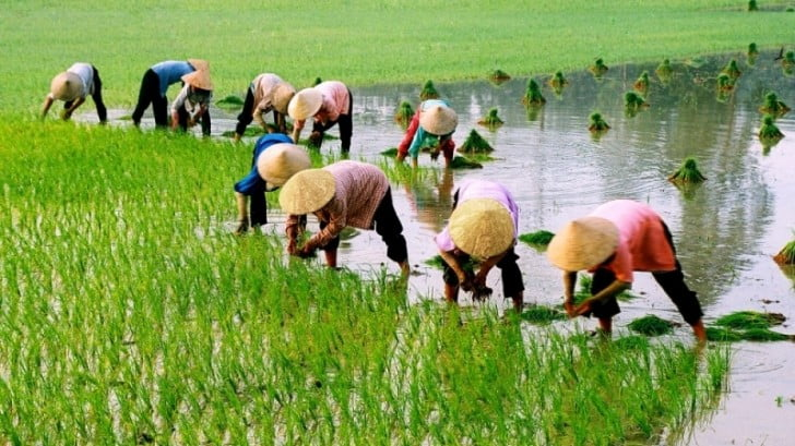Planting rice by hand