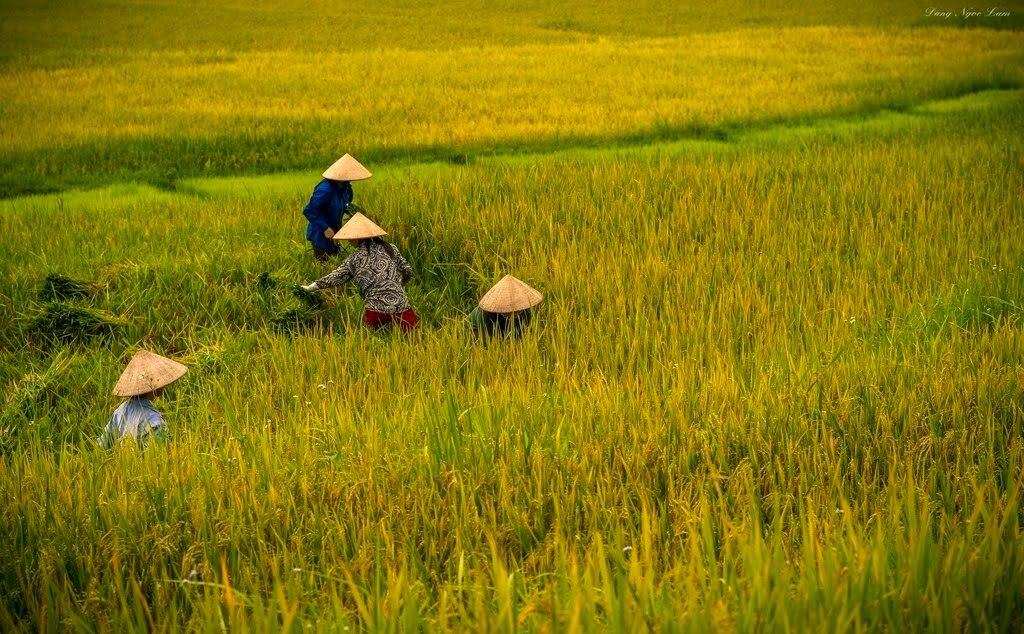 Harvesting rice - by Lam Dang